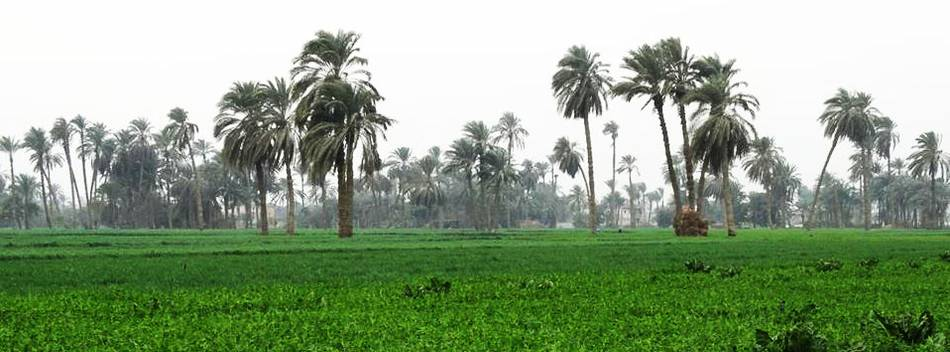 First palm date cluster boosts value chain in Egypt